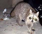Kenneth City raccoon control