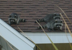 How to get rid of raccoons on the roof.