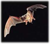 Tampa bat control and removal. We will get bats out of your attic or roof.