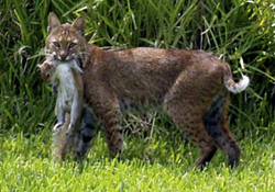 Bobcats in Pasco Hillsborough Pinellas and Manatee County