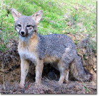 Gray fox removal and trapping in Tampa Bay area