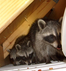 How to get rid of raccons in tampa bay