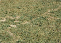 Moles tunneling in lawn or yard causing damage