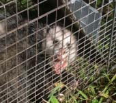 opossum removal Tampa