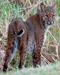 Tampa bay area bobcat control and removal.